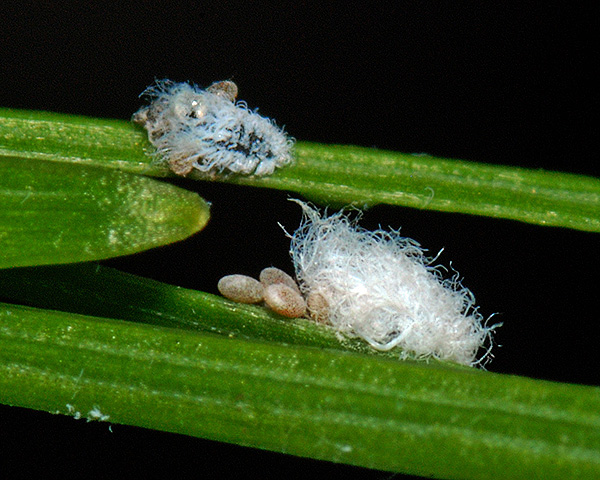 Adelges laricis (Larch adelgid, Larch woolly aphid): identification