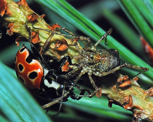 Anatis ocellata (Eyed ladybird) identification, distribution
