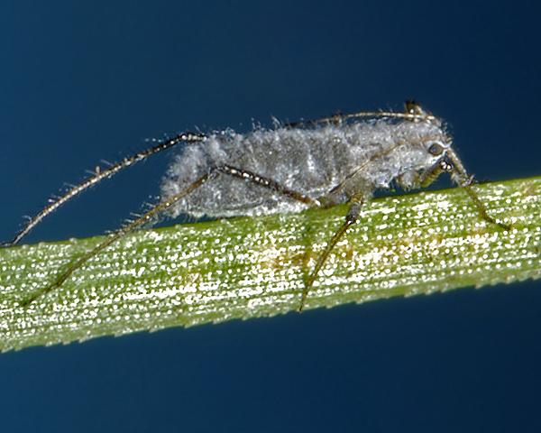 mature pine aphids