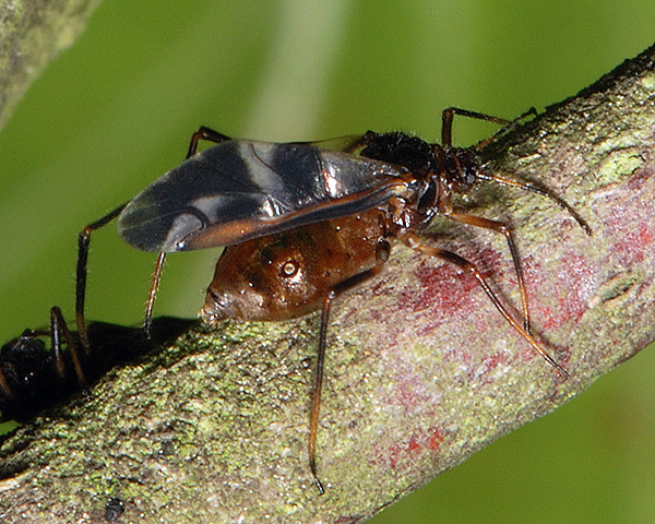Aphid blog: How to identify live aphids from photos - the basics