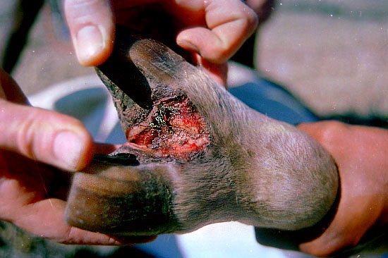 In cleft of hoof of cow with foot-and-mouth disease in kenya 1996