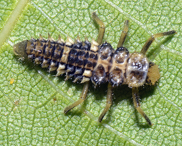 Panaphis juglandis (Large walnut aphid): identification, images