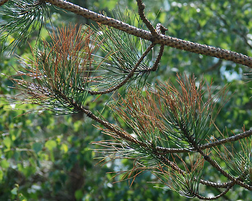 Aphids on pine: identification, images, ecology and control