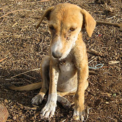 Heavy Infestation Of Rhipicephalus Sanguineus Brown Dog Tick