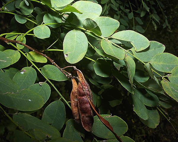 Appendiseta Robiniae Black Locust Aphid Identification