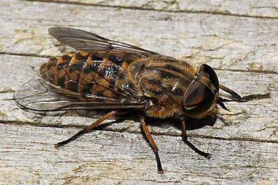 horseshoe fly