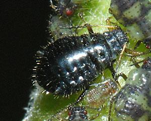 Aphid identification to genera